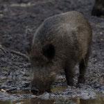 Die Schweine fand Emil ziemlich komisch...