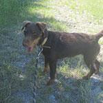 Mélissa  jadg terrier  adoptée en Juillet 2018