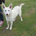 Lilou croisée berger  adoptée en décembre 2016
