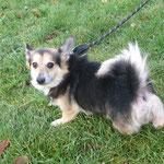 Gary croisé welsh Corgi adopté en décembre 2017