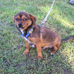 Maxou croisé chihuahua  adopté en janvier 2017