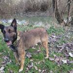Reine chienne berger belge malinois  adoptée en Mars 2019