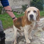 Sally  beagle   adoptée en Décembre 2018