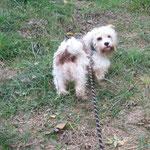 Leo croisé labrit/bobtail adopté en octobre 2016