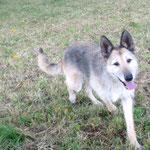 Fina croisée berger (stérilisée)  adoptée en Août 2017
