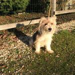 Luti croisé yorkshire  adopté en janvier 2017