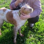 Lewis épagneul breton  adopté en  Janvier 2018