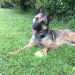 Gandja berger belge malinoise  adoptée en Aout 2019 stérilisée