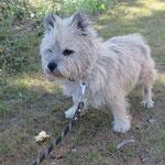 Bob cairn terrier  adopté en septembre 2019