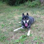Chiara croisée husky adoptée en septembre 2016