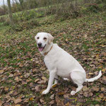 Lila croisée labrador  adoptée en novembre 2016