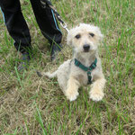 Lady  petite chienne croisée adoptée en Août 2017