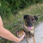 Juju croisée berger adoptée en octobre 2017