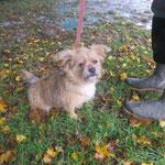 Orus chiot border terrier  adopté en Novembre 2018
