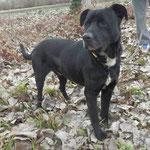 Ivan croisé labrador noir  adopté en Février 2017