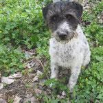Titus croisé fox  adopté en Mai 2019  castré