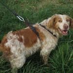 Foxie épagneul breton adoptée en octobre 2016