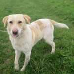 Marley  croisé labrador  adopté en Février 2018