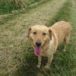 Anaïs croisée labrador  adoptée en Juillet 2017