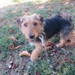 Mirko croisé  adopté en octobre 2019