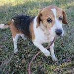 Filou beagle  adopté  en  Juin 2017 castré
