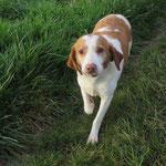 Bobby épagneul breton adopté en septembre 2016