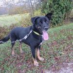 Lucky croisé berger  adopté en Décembre 2018  castré