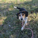 Monk croisé  beagle adopté en Février 2017