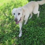 Fantic  labrador sable  castré   adopté en Mai 2018