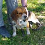 Maja beagle adoptée en  mai 2017