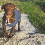 Opi  croisé pinscher  adopté  en Janvier 2019