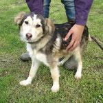 Mia  croisée berger adoptée en décembre 2016