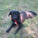 Milou croisé labrador  adopté en octobre 2016
