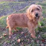 Linx  basset fauve de Bretagne  adopté en décembre 2016