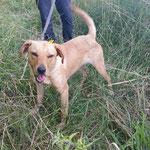 Lalie croisée labrador adoptée en  Juillet 2017