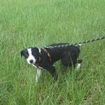 Ophelia  croisée border collie  adoptée en Avril 2019