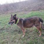 Louna  croisée berger adoptée en Février 2018  stérilisée