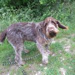 Guimauve  griffon korthal  adopté en Juin 2017
