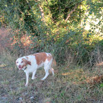 Bobby épagneul breton  adopté en Novembre 2018  castré
