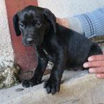 Manno chiot  croisé labrador adopté en janvier 2017