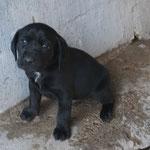 Malou chiot croisé labrador adopté en janvier 2017
