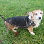 Djipsy  welsh corgi adopté en Février 2018
