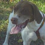 Douba  chienne braque français adoptée en Novembre 2018  stérilisée