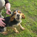 Miss croisée beagle  adoptée en Février 2017