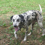 Derby  dalmatien  adopté  en  Aout 2018