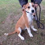 Naïs  croisée beagle (6 mois)   adoptée en Septembre 2017