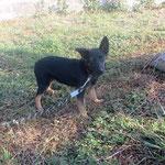 Olya  chiot croisée berger  adoptée en Octobre 2018