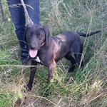 Laya  croisée braque adoptée en  Août 2017