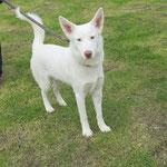 Lulu croisé berger adopté en décembre 2016