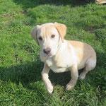 Nougat chiot croisé labrador  adopté en Mars 2018